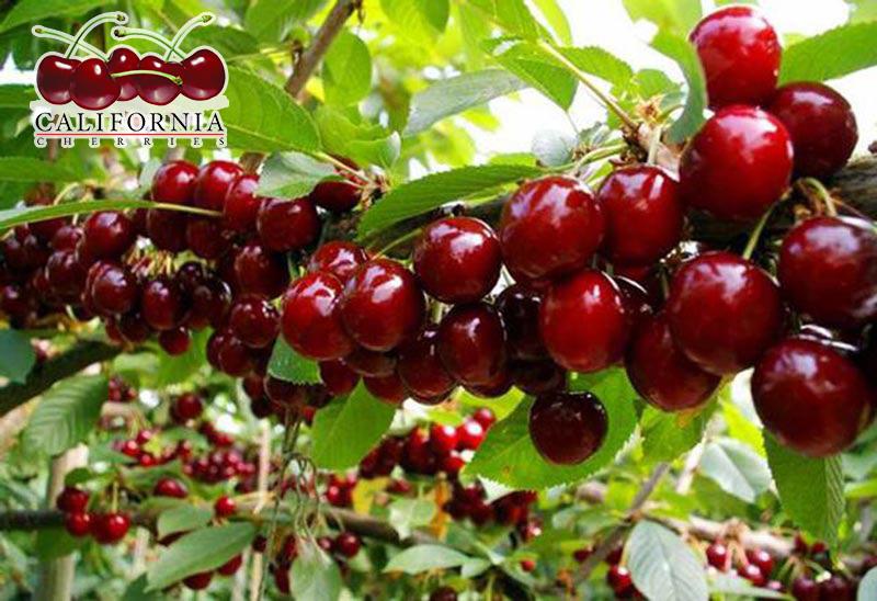 Mùa cherry canada vào tháng mấy
